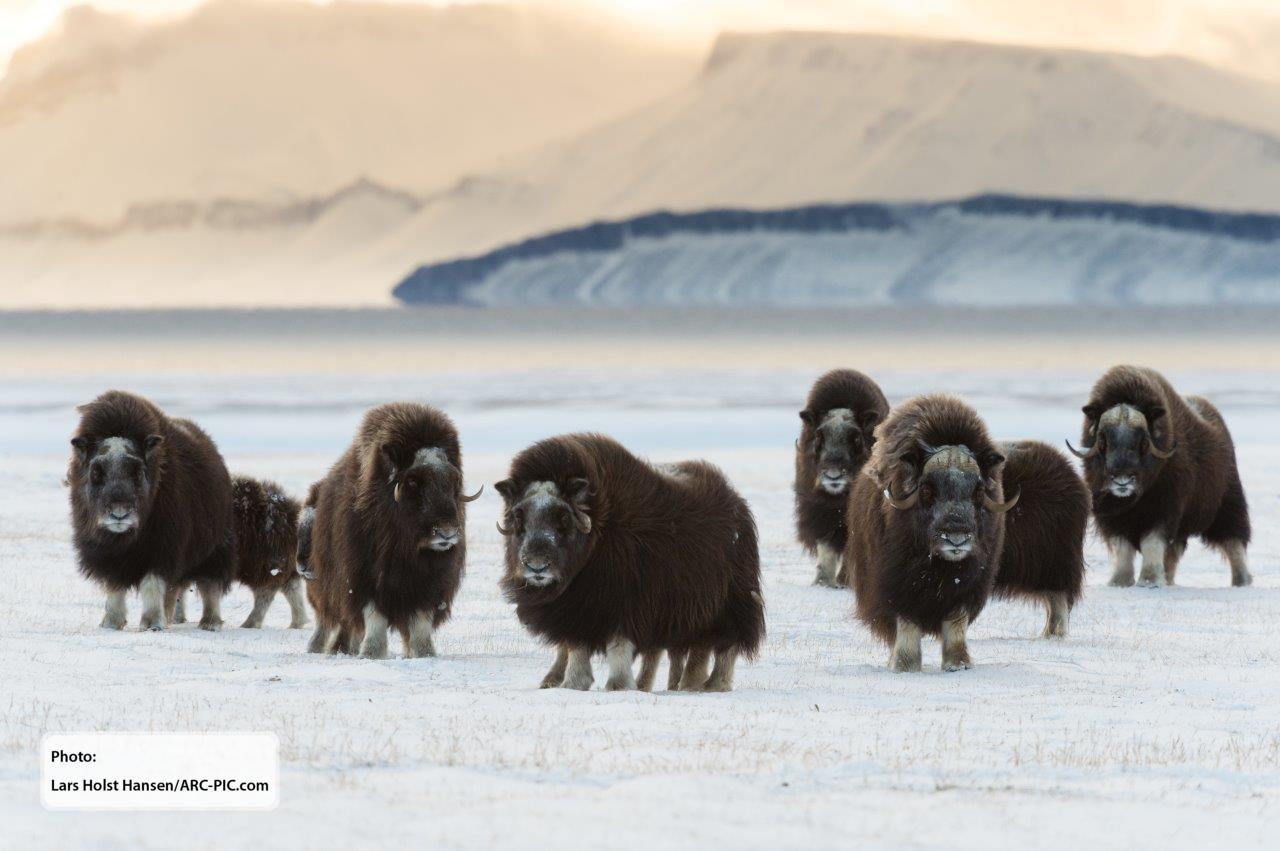 Muskox herd at Zackenberg